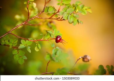 Rosehip berry. Beautiful dog rose close-up. Dog-rose fruit. Photo background