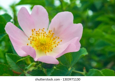 Rosehip bush blooming in spring. Bright beautiful flowers of rose hips of delicate pink color of pastel tones. Medicinal flowers brewing tea for weight loss diuretic prostatitis adenoma pressure.