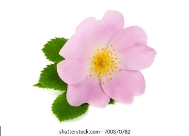 Rosehip flower with leaf isolated on white background