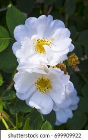 rosehip flowers in the garden