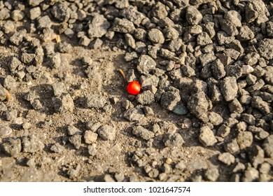 Rosehip in gravel