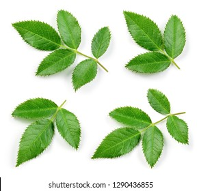 Rosehip leaf isolated. Rose hip leaves on white. Collection.