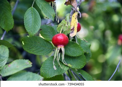 Rosehip on a branch
