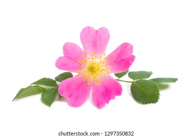 rosehip rose isolated on white background