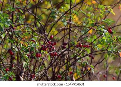 Rosehip shrub, Nature, Autumn, Vysočina, Czechia