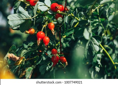 rosehip tree and fruity, rosehip gathering, rosehip fruit for herbal treatment, ripe rosehip fruit,