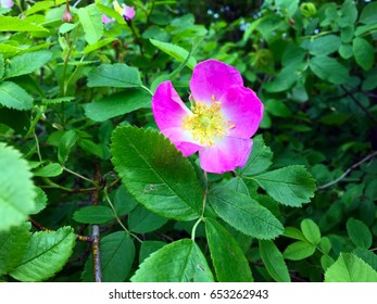 Rosehip (wild rose) flower.