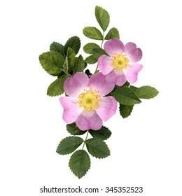 Rosehips; blossom, dog rose, blossom