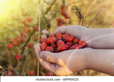 Rosehips in hands with rosehip background