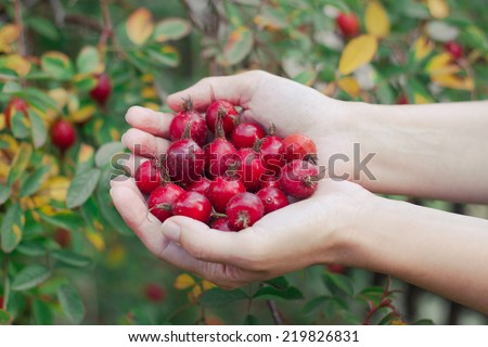Rosehips in hands with rosehip background, concept of harvest and picking