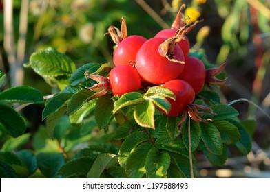 rosehips medicinal, ripe red rose hips