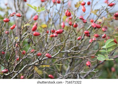 Rosehips on bare branches in a hedgerow