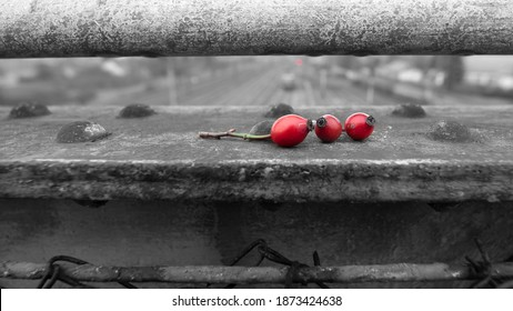 Rosehips on the overpass railing, selective color enhancement