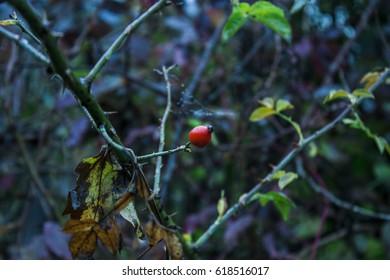 rosehips | tea plant