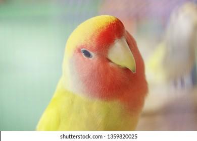 roseicollis lovebird non klep lutino color