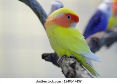 the roseicollis lovebirds