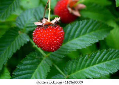 roseleaf raspberry or Rubus rosifolius (hybrid of raspberry and strawberry),new modern variety of berries