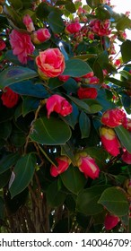 Rose-like closed and beginning to open pink camellia flowers & dark green leaves. Prolific camellia japonica pink bloom. Pink camellia spring blooms with green leaves on a shrub.