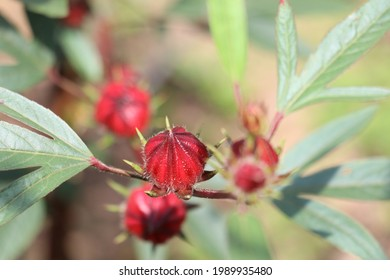 rosella flowers have a bright red color with soft thorns on the edges, rosella flowers in addition to their beauty they also have many health benefits.