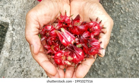 Rosella fruit in hand, picking in the garden of the house yard. For rosella tea drink, health plant, hibiscus sabdariffa