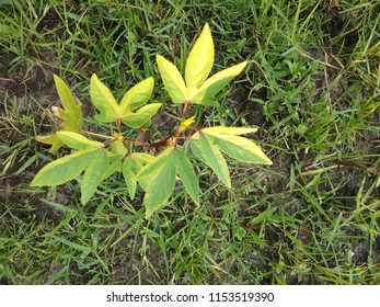 Roselle Plant, Hibiscus sabdariffa