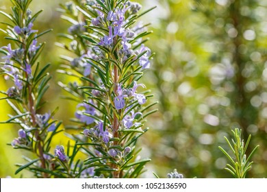 "Rosemary blue blossom on rosemary blue green bokeh garden background. "" Benenden Blue "" Rosmarinus officinalis angustissimus"