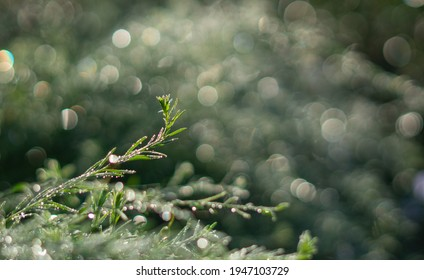 Rosemary in the early morning dew