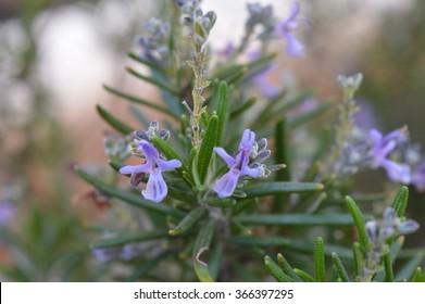 Rosemary flower