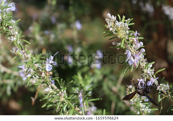 rosemary-flowers-on-branches-violet-600w