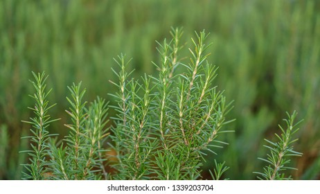 Rosemary fragrant herbal is edible woody perennial plant with needle-like leaves in traditional English cottage backyard planting Sensory garden