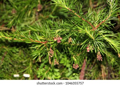 Needle like leaves images stock photos vectors shutterstock rosemary grevillea grevillea rosmarinifolia low shrub with needle like leaves with recurved margins and mightylinksfo