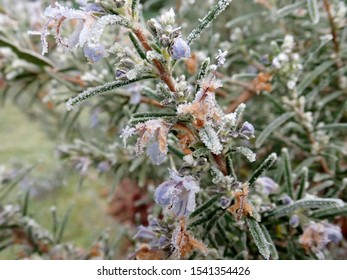 Rosemary herb covered in frost during the winter