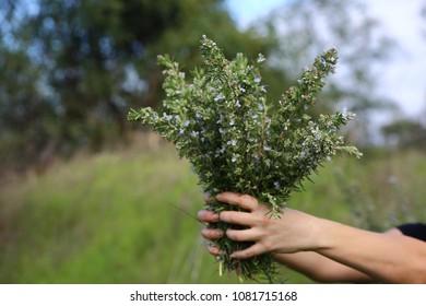 Rosemary, Herb Gardening
