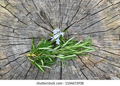 Rosemary herb on old wood.
