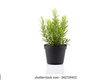 rosemary inside a black pot on white background, rosmarinus officinalis