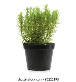 rosemary inside a black pot over a white background, rosmarinus officinalis