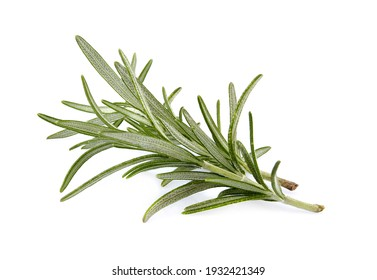 Rosemary isolated on white background cutout. Close up studio shot of fresh green rosemary herb leaves isolated on white background.