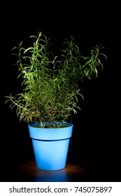 Rosemary plant in a light blue pot on a dark background.