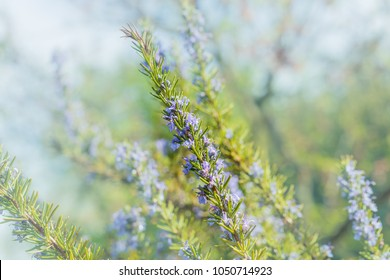 "Rosemary plant on the blossom rosemary blue green bokeh garden background. "" Benenden Blue "" Rosmarinus officinalis angustissimus"