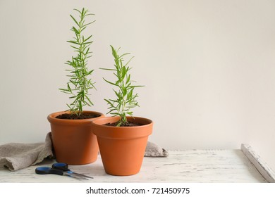 Rosemary plant in pots on table against light background