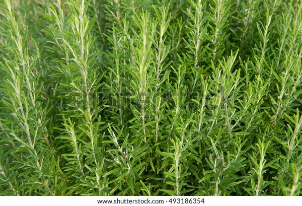 Rosemary Plant (Salvia rosmarinus) on an Allotment  in a Vegetable Graden in Devon,  England, UK