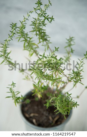 Rosemary Plant Texture Natural Headache Remedy Stock Photo