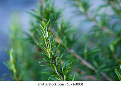 Rosemary plant.Close-up in the garden.