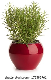 Rosemary in red flower pot isolated on white