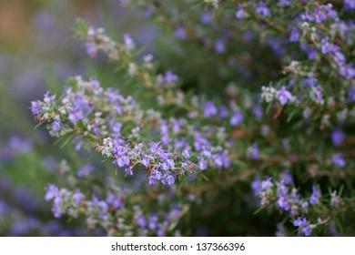 "Rosemary, ""Rosmarinus officinalis"", in bloom"