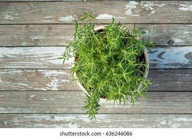 Rosemary (Rosmarinus officinalis) growing in a flower pot, top view