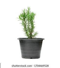 Rosemary or Rosmarinus officinalis with pot isolated on white background