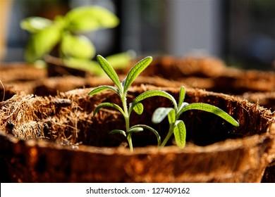 Rosemary Seedling Potted Plant in Backyard / Window Garden