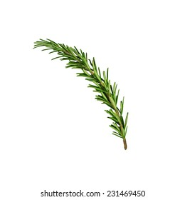 Rosemary sprig isolated