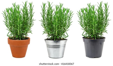 Rosemary in three different pots isolated on white background